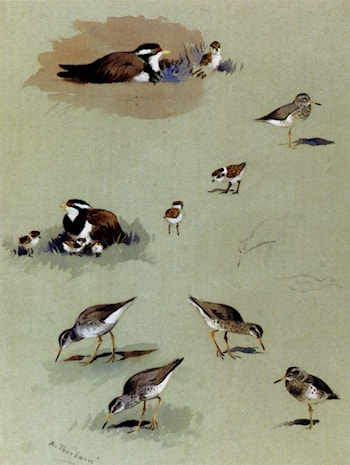 Study of sandpipers, cream­coloured coursers and other birds by Archibald Thorburn