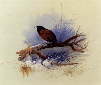 A Nepalese black­headed nun in the branch of a tree by Archibald Thorburn
