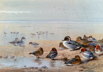 Pintail, Teal And Wigeon, On The Seashore by Archibald Thorburn