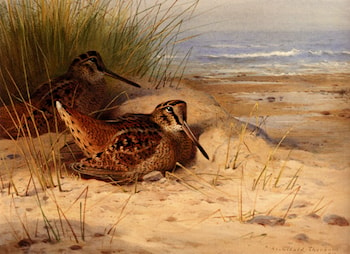 Woodcock Nesting On A Beach by Archibald Thorburn