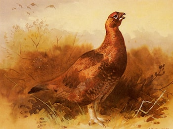 Cock Grouse by Archibald Thorburn