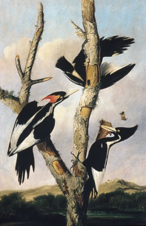 Ivory­billed Woodpeckers by Joseph Bartholomew Kidd