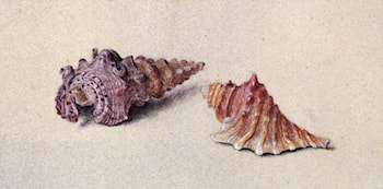 Study of Two Shells by John Ruskin