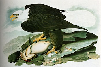 The Bald­Headed Eagle From Birds Of America by John James Audubon